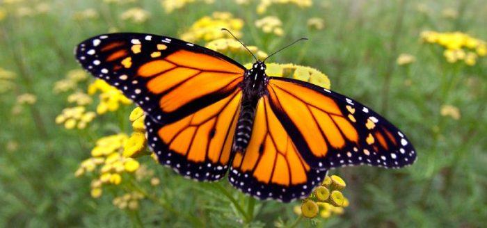 vida-mariposas-800x375.jpg